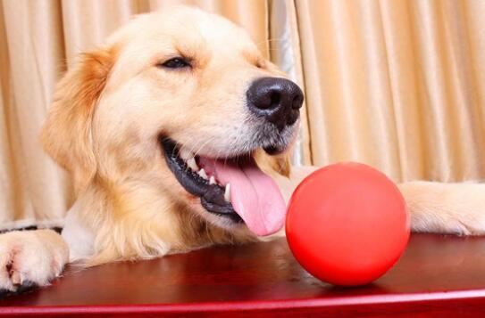你不在时让玩具陪伴狗狗!狗狗玩具的四大作用