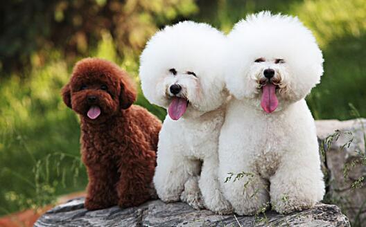 贵宾犬身上有臭味,要怎么清洗?