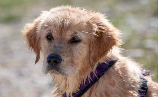 金毛主人常常出现的三个认知误区!早知道成养狗专家