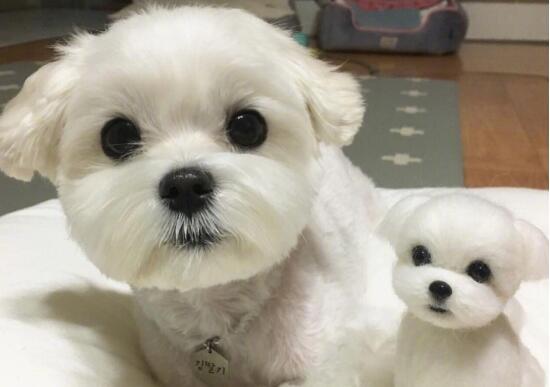 """如何让宠物狗狗养成良好的生活习惯——以""""泰迪""""为例"""