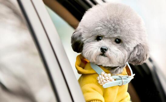 泰迪犬这样装饰,你更喜欢哪个?