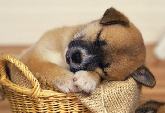 """一只小泰迪的""""悲剧""""告诉我们,宠物狗养护很重要"""