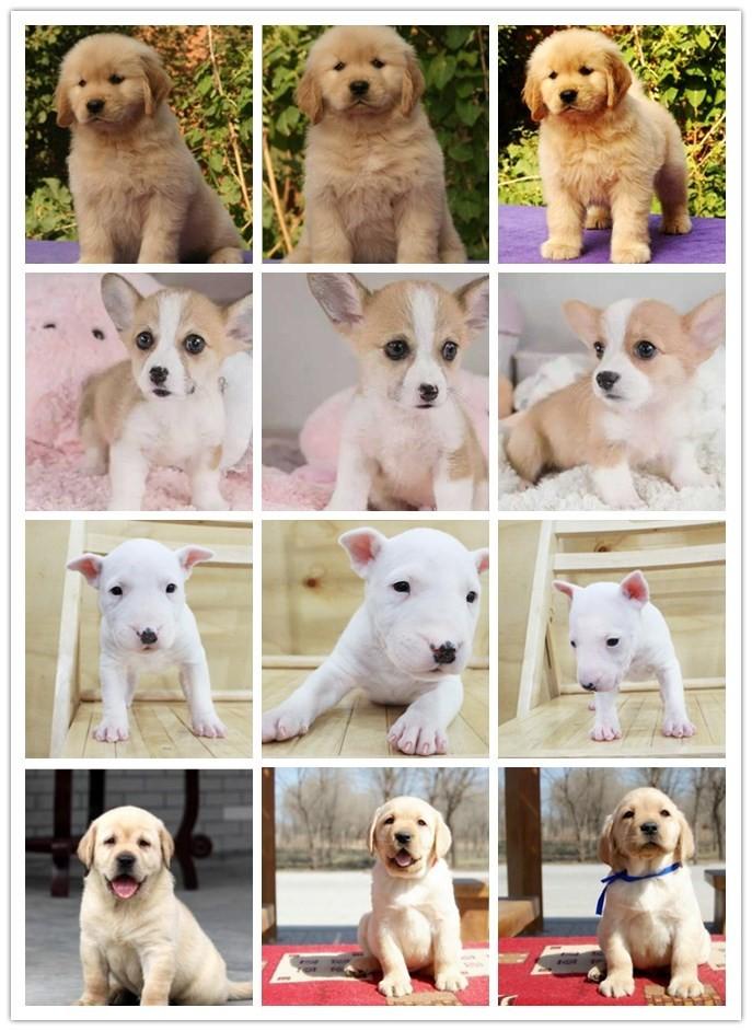 CKU认证正规繁殖圣伯纳幼犬基地纯种健康质保7