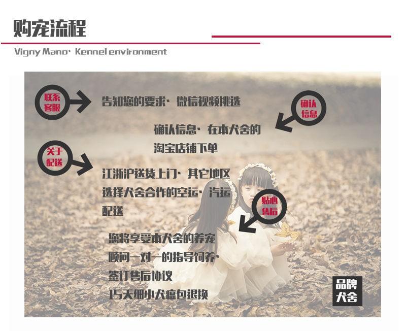 CKU认证正规繁殖圣伯纳幼犬基地纯种健康质保10
