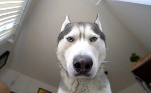 看来不选二哈当警犬不是没有原因的,原因太现实了