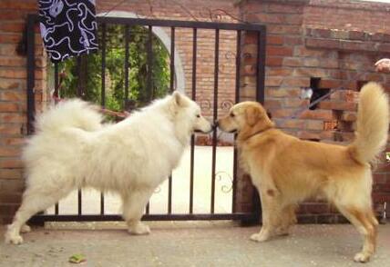 想要养狗,但是同时喜欢金毛和萨摩耶,怎么办呢