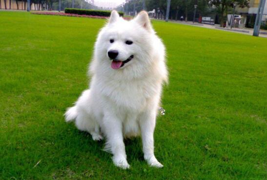 萨摩耶和银狐犬,哪一个好养呢
