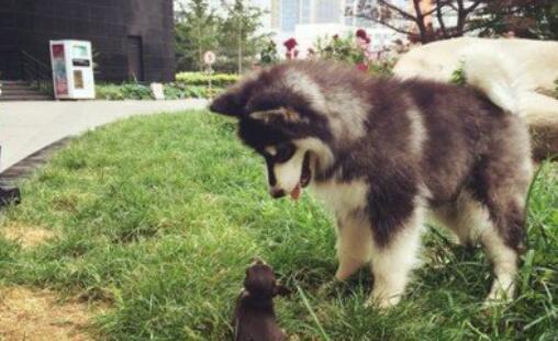 看了《后会无期》后,想养一只阿拉斯加犬