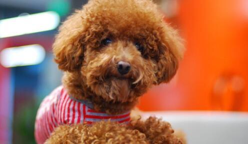 告诉你养泰迪犬有什么优势,不养不知道