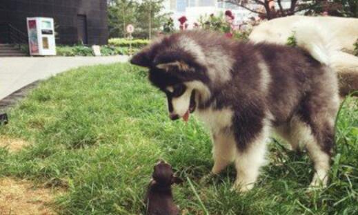 你以为养阿拉斯加犬这么容易吗?看了你就知道了