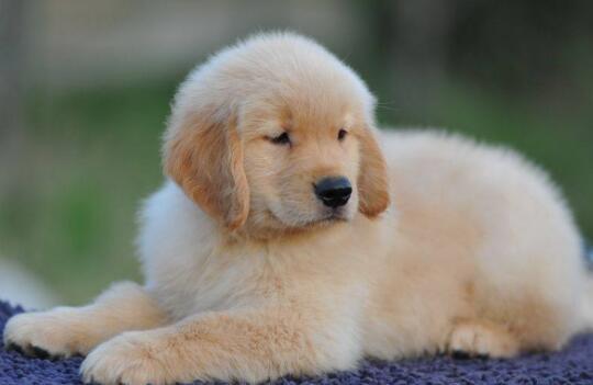 新买了一只金毛幼犬,在饲养中需要注意什么事项?