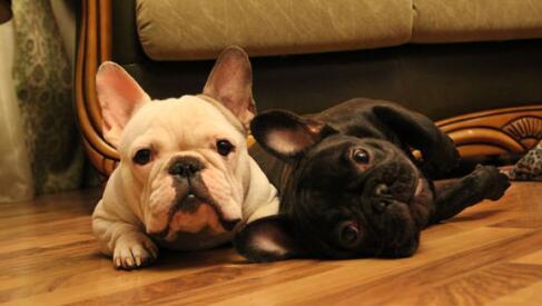 不要以为养法国斗牛犬很简单,其实是一门大学问