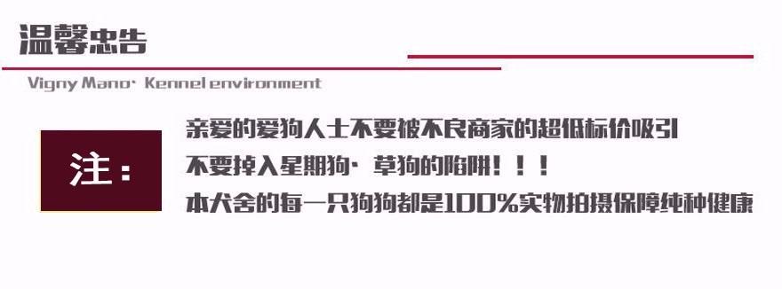 上海本地狗场出售纯种韩系贵宾犬 国外引进保证品质12