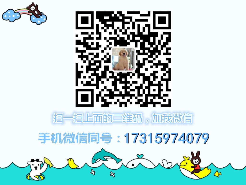 南京茶杯犬/茶杯袖珍/茶杯狗狗/茶杯幼犬/纯种茶杯犬15