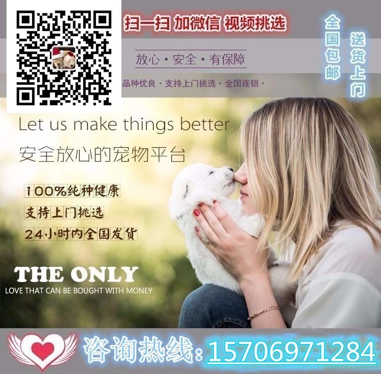 优惠价转让韩系血统西安泰迪犬 可签署售后保障协议5