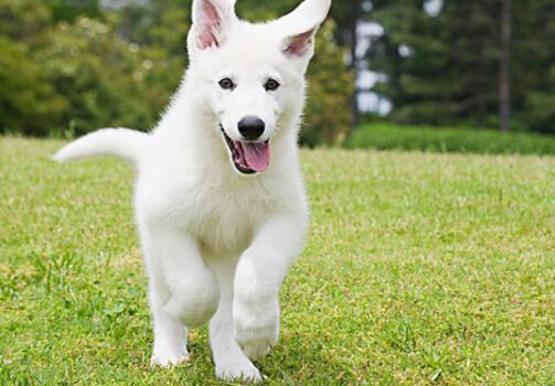 银狐犬这么可爱,为什么养它的人并不多呢