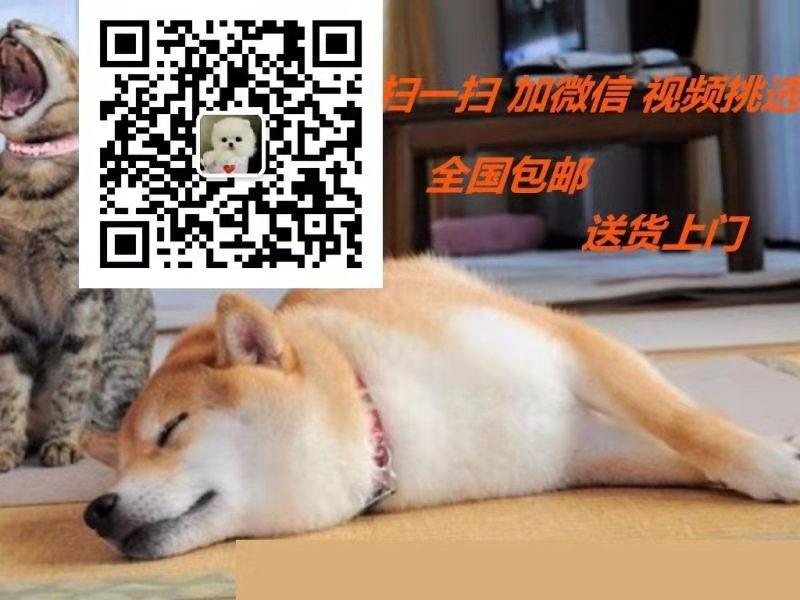 极品纯正的福州腊肠犬幼犬热销中品相一流疫苗齐全5