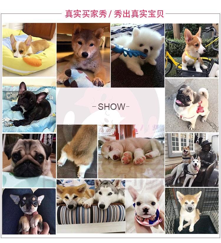 专业繁殖纯种武汉格力犬疫苗齐全微信看狗真实照片包纯15