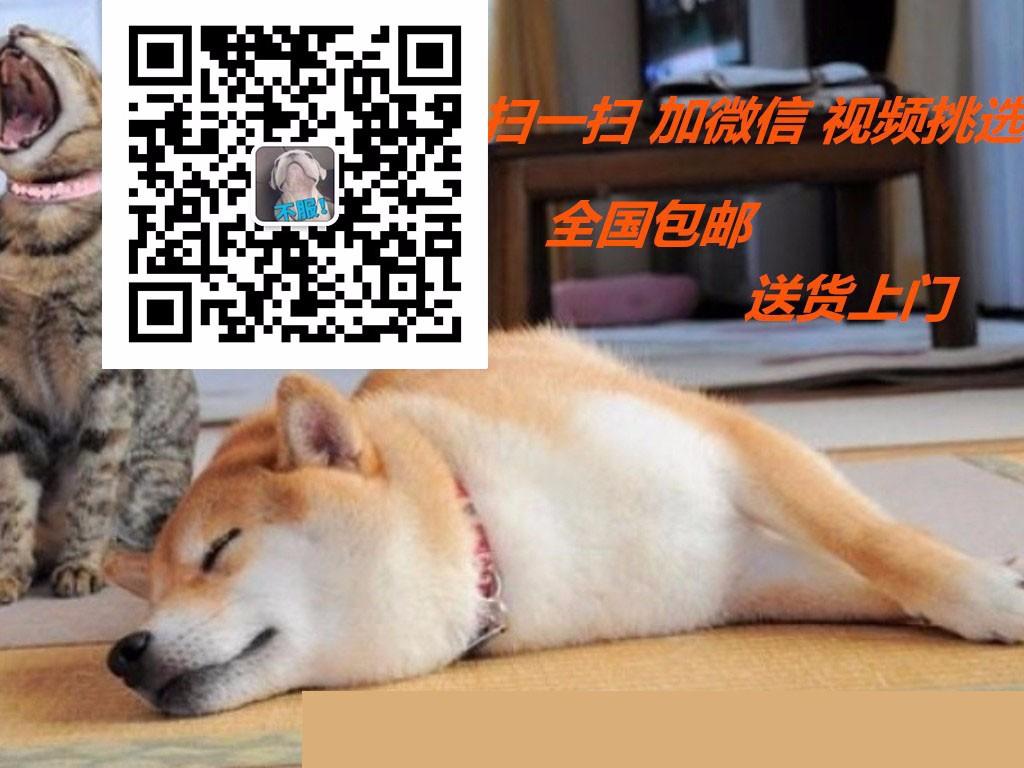 茶杯泰迪狗多少钱一只广州泰迪熊狗价格玩具型泰迪出售5