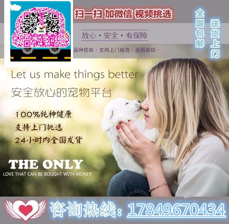 多只优秀进口韩系贵阳泰迪犬低价出售 保证血统纯正5