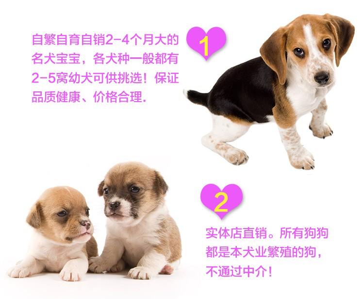 繁殖基地出售多种颜色的西施犬加微信送用品7