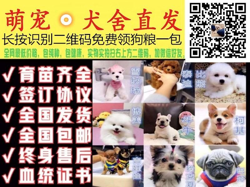繁殖基地出售多种颜色的西施犬加微信送用品5