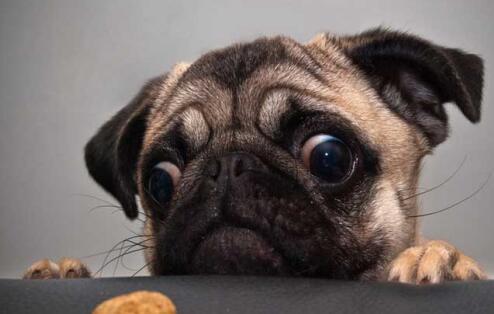 想要养一只小型犬,巴哥犬建议养吗