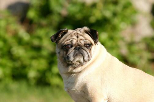 怎么挑选一只可爱且健康的巴哥犬呢?盘点4个小窍门