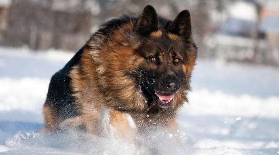 德国牧羊犬为什么喜欢刨土?原来这么有趣