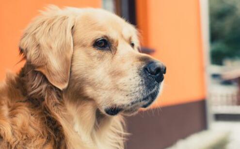 养一只金毛犬需要注意什么?你知道吗