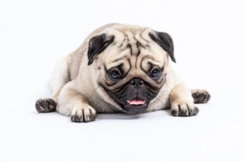 养巴哥犬有什么需要知道的日常护理