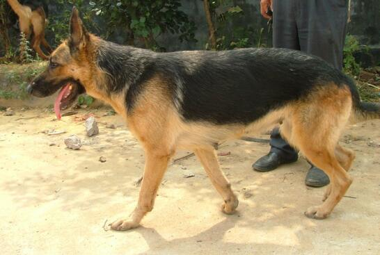 看了这5点,你就会知道原来养德国牧羊犬不容易