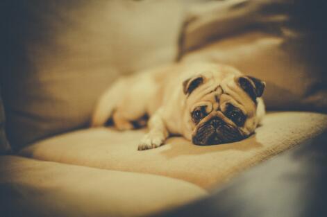 你家的巴哥犬会感到烦燥吗?是否有以下情况
