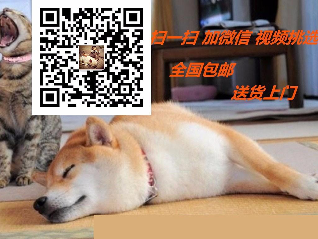专业的格力犬犬舍终身保健康爱狗人士优先5