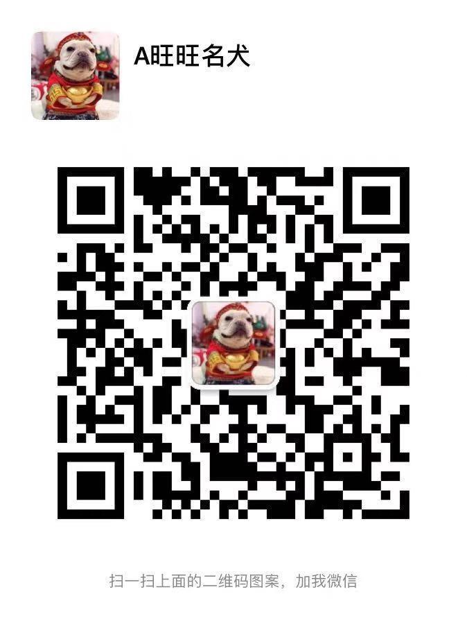 憨厚呆萌可爱太原斗牛幼犬低价出售 签协议保纯种健康14