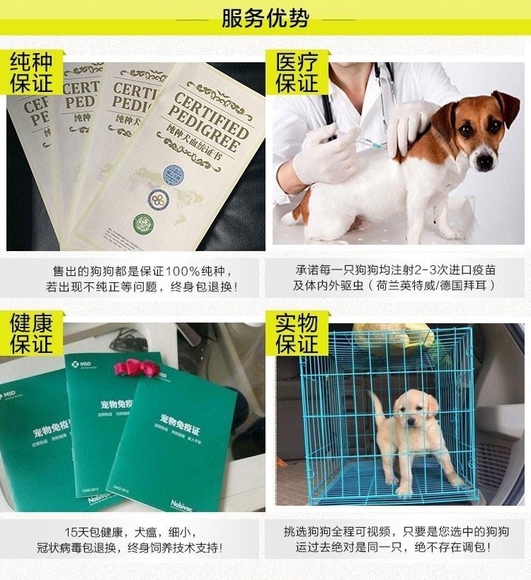 特别棒的拉布拉多犬长沙特价出售 终身保健康 保品质8