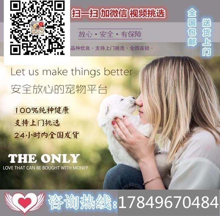 极品韩国血统泰迪犬特价转让 欢迎来广州犬舍购买5