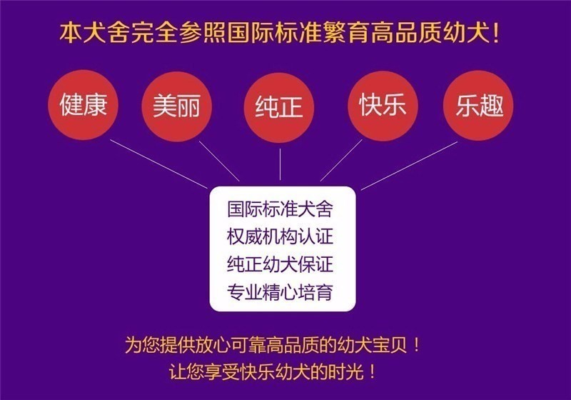 极品韩国血统泰迪犬特价转让 欢迎来广州犬舍购买11