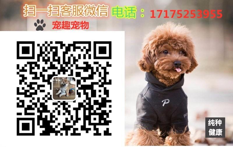 出售南昌茶杯犬专业缔造完美品质可刷卡可视频5
