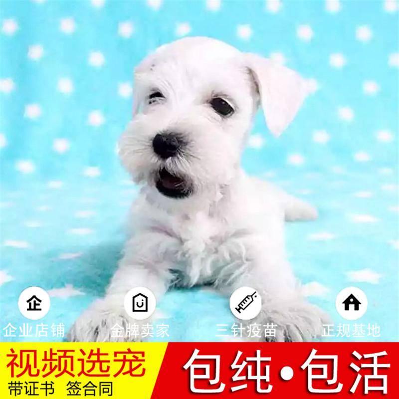 纯种雪纳瑞犬幼犬活体宠物狗狗家养真狗幼崽正宗雪纳瑞