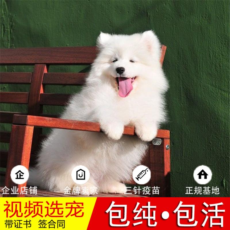 纯种萨摩耶犬幼犬活体宠物狗狗家养正宗萨摩耶真狗幼崽2
