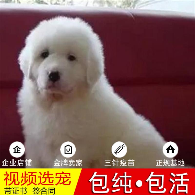 大白熊活体纯种宠物狗狗大白熊幼犬家养真狗幼正宗幼崽