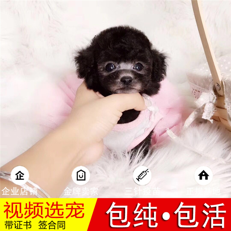 纯种贵宾犬幼犬活体宠物狗狗家养赛级贵宾犬真狗幼崽
