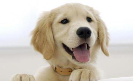 原来饲养金毛幼犬一点都不简单,长见识了