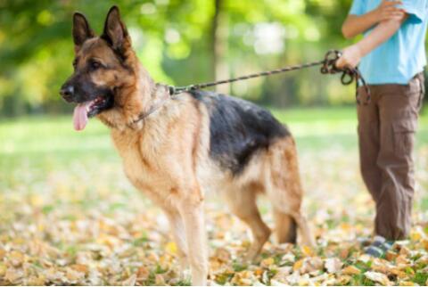 德国牧羊犬出现皮屑多时候,铲屎官应该怎么处理呢
