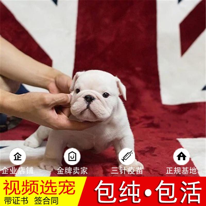 出售顶级大鼻镜大褶皱老虎狗|英国斗牛犬英牛犬|英斗犬7