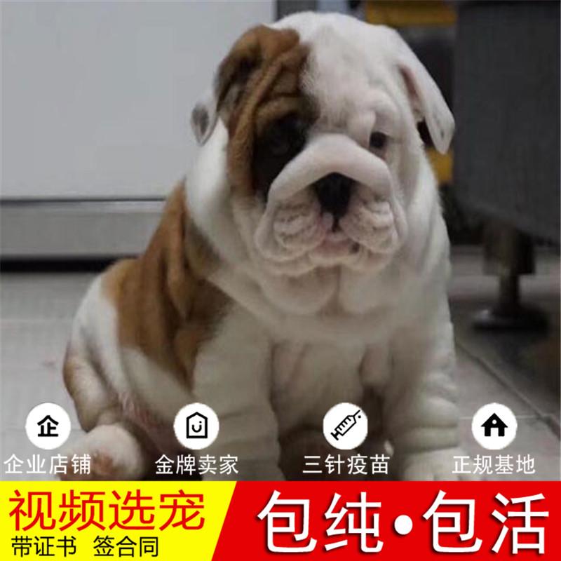出售顶级大鼻镜大褶皱老虎狗|英国斗牛犬英牛犬|英斗犬9