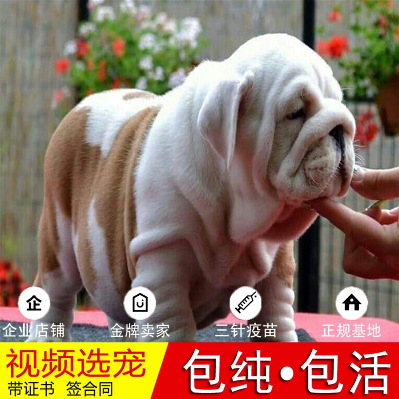 出售顶级大鼻镜大褶皱老虎狗|英国斗牛犬英牛犬|英斗犬10