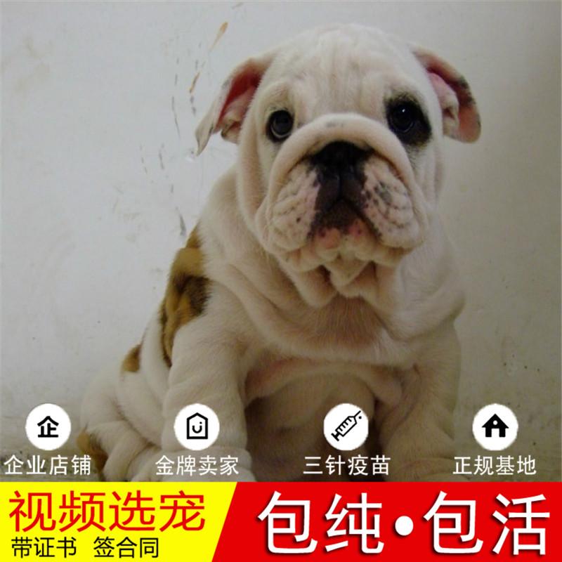 出售顶级大鼻镜大褶皱老虎狗|英国斗牛犬英牛犬|英斗犬11