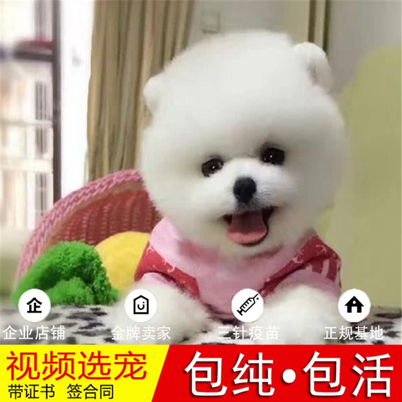 热销多只优秀的纯种博美犬幼犬质量三包完美售后7